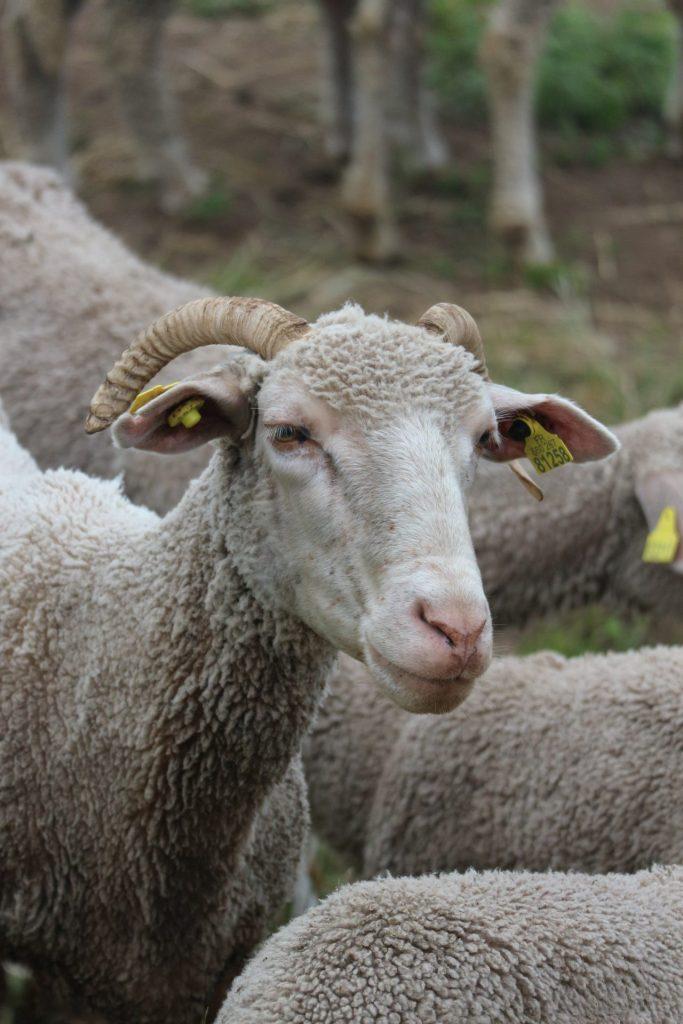 Mouton lors de notre randonnée dans le Var